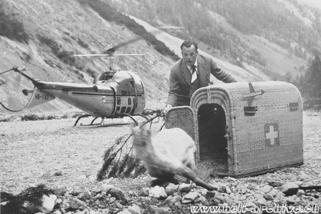 Released by Hermann Geiger at its destination a chamois wastes no time in getting away into the surrounding terrain (Ala Rotante - HAB)