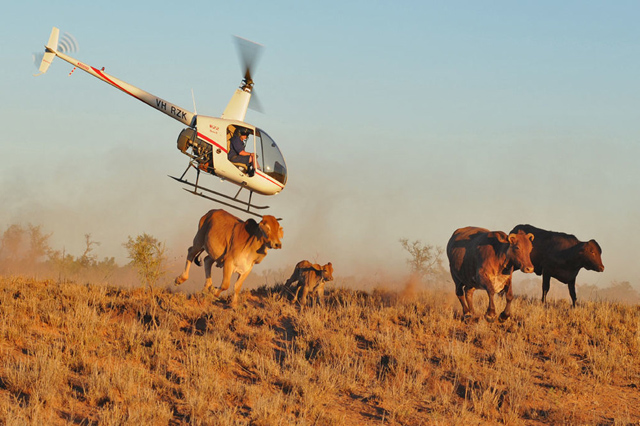 "In Australia the Robinson 22 is used by the ""flying cow-boys"" to muster cattle (web)"